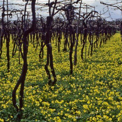 Reben im gelben Blumenmeer – Kreta, Knossos, Nähe Heraklion – März 1984