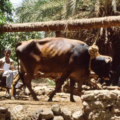 Kuh treibt urtümliche Wasserpumpe – Ägypten, Assuan – Mai 1984