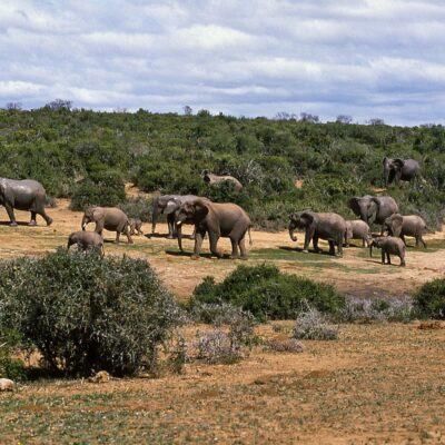 Elefantenherde beim Aufbruch von Wasserstelle – Südafrika, Addo-Elefanten-Nationalpark – September 1984