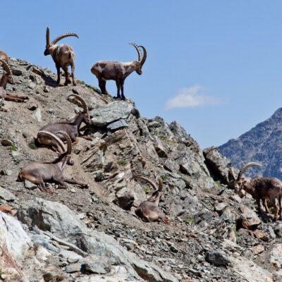 Steinböcke auf Bergkrete – Fuorcla Pischa – 16. Juli 2010