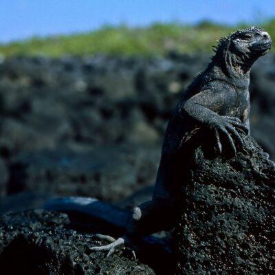 Schwarzer Leguan auf Lavastein – Galapagos, Insel Santa Cruz, Puerto Ayora – Februar 1985