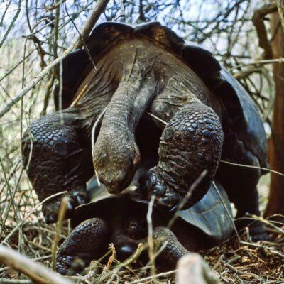 Zwei Riesenschildkröten – Galapagos, Insel Santa Cruz, Schildkröten-Reservat – Februar 1985
