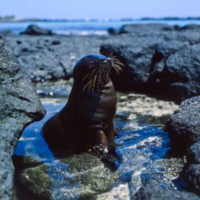 Junger Seelöwe im Wasserbecken – Galapagos, Insel Santa Fé – Februar 1985