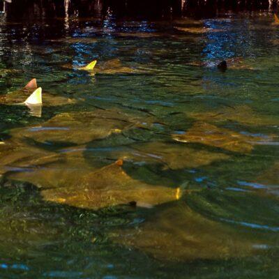 Rochengruppe schwimmt im Kreis – Galapagos, Lagune der Schwarzen-Schildkröten – Februar 1985
