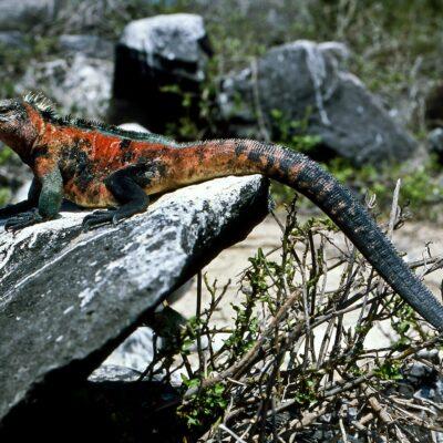 Rot-grün-schwarzer Leguan – Galapagos, Insel Española – Februar 1985
