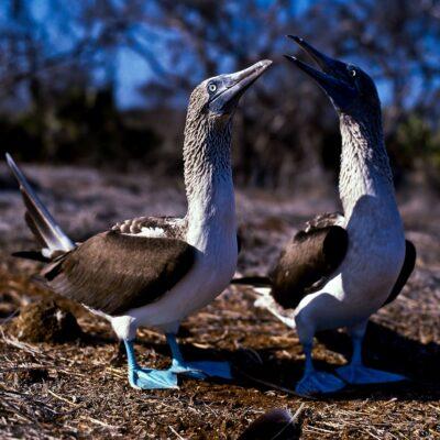 Blaue Füße werden bevorzugt – Galapagos, Insel Española – Februar 1985