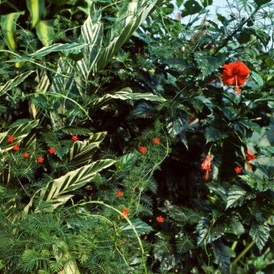 Üppige Schönheit unbekannter Pflanzen – Ecuador, Misahualli – März 1985